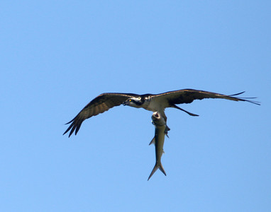 Osprey bring home the mullet fish