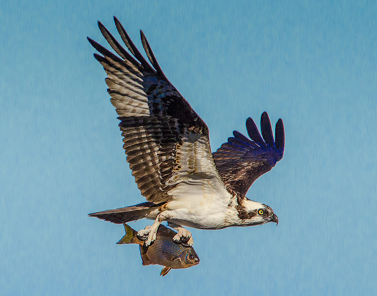 Osprey with Surf Perch