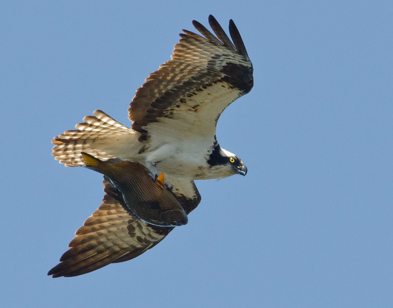 The osprey almost lost this large fish and secured it upside down