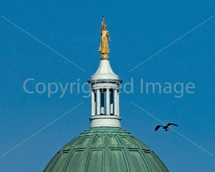 Osprey soars above the Kennebec River with Maine State Capitol in the background