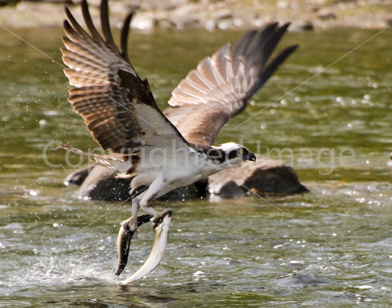 Osprey with catch during the annual alewife run - Damariscotta Mills, Maine - May 2008