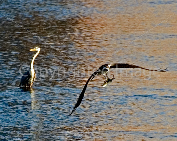 Great blue heron looks on as an osprey plucks a fish from the Kennebec River in Augusta, Maine