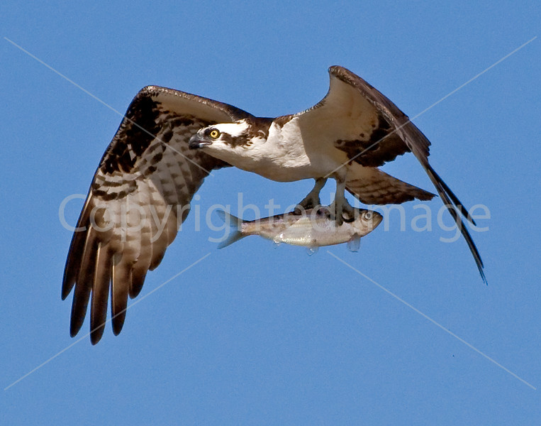 Osprey with fish at Popham Beach
