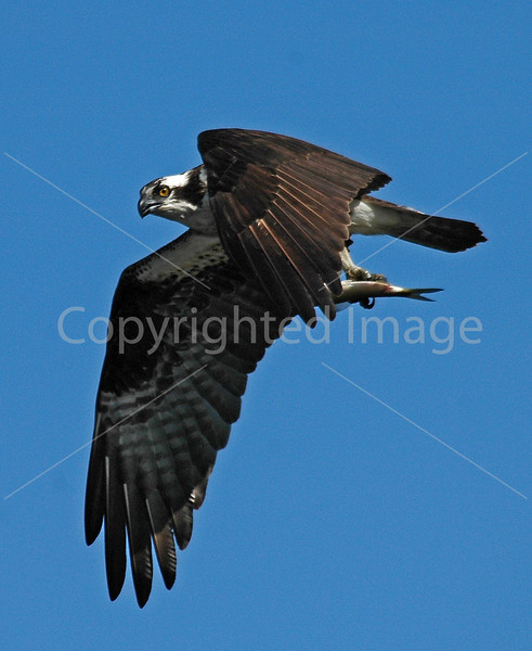 Osprey with fish above the Kennebec River at Augusta, Maine