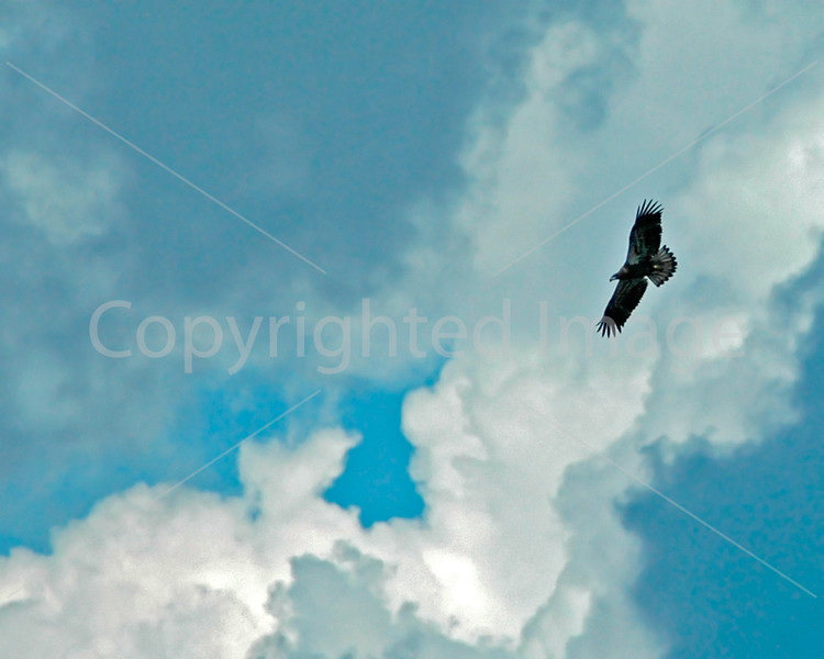 Osprey above the Kennebec River at Augusta, Maine