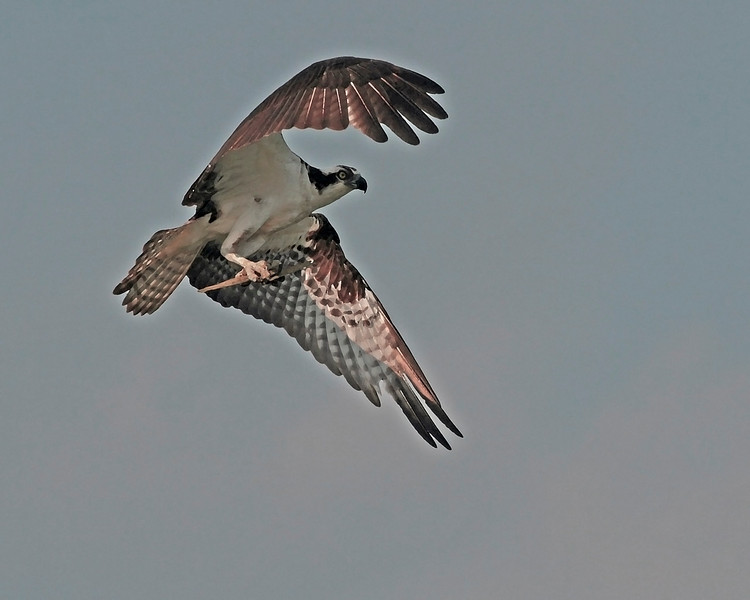 Painted Osprey