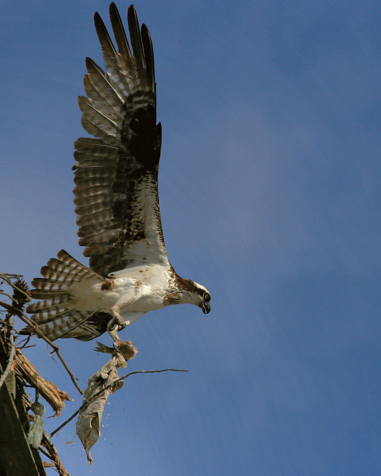 Female Osprey evacuating her nest in a hurry