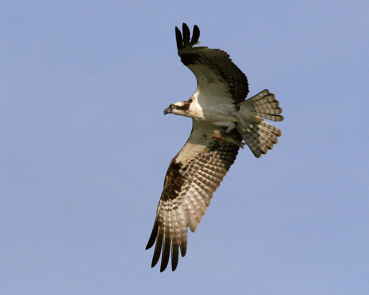 Male Osprey with fish he cleaned for his mate - nest on a channel marker in Mill Creek, Solomons Island, Maryland