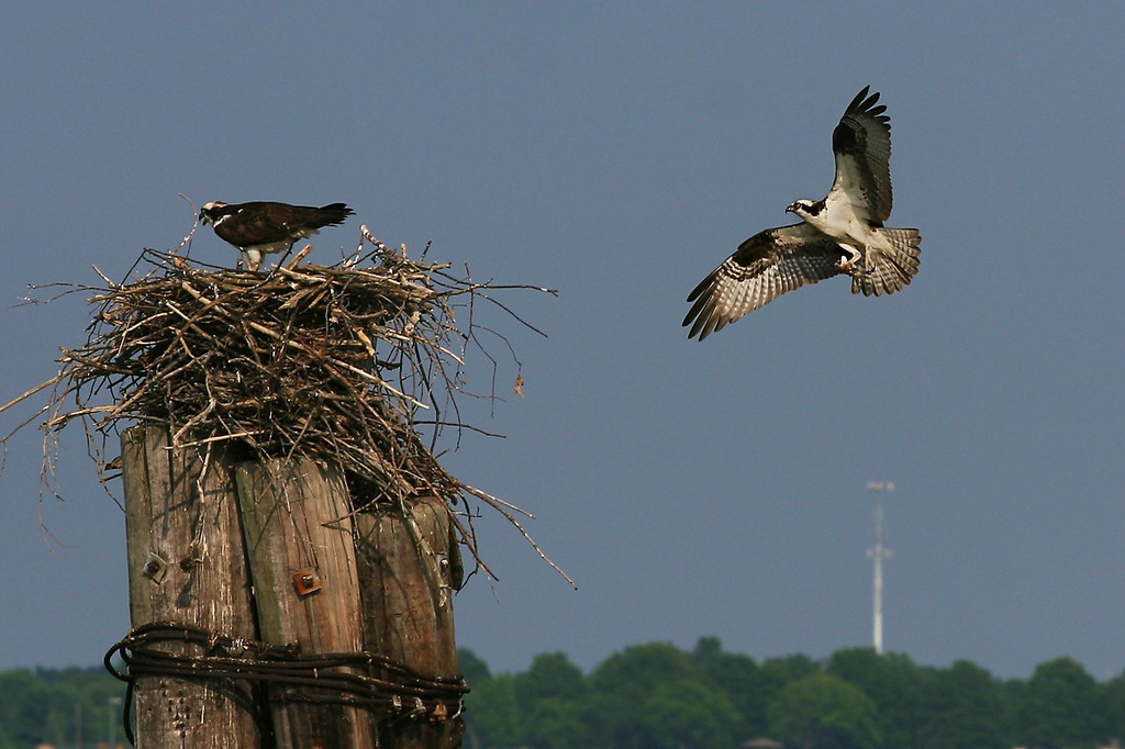 Male Osprey bringing a cleaned and prepared fish to the nest