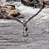 Osprey with catch during the annual alewife - Damariscotta Mills, Maine - May 2009