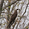 Osprey waits for prey during the annual alewife run - Damariscotta Mills, Maine - May 2009