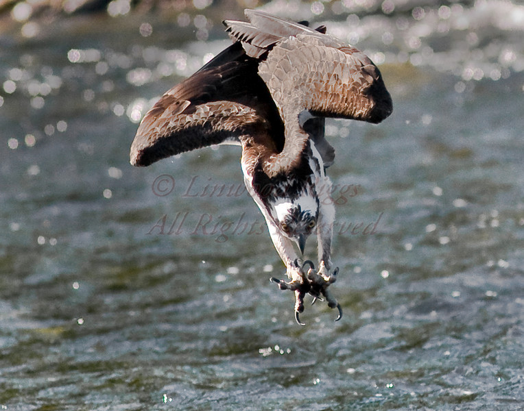 Osprey dives into the Mill Stream during the annual alewife run - Damariscotta Mills, Maine