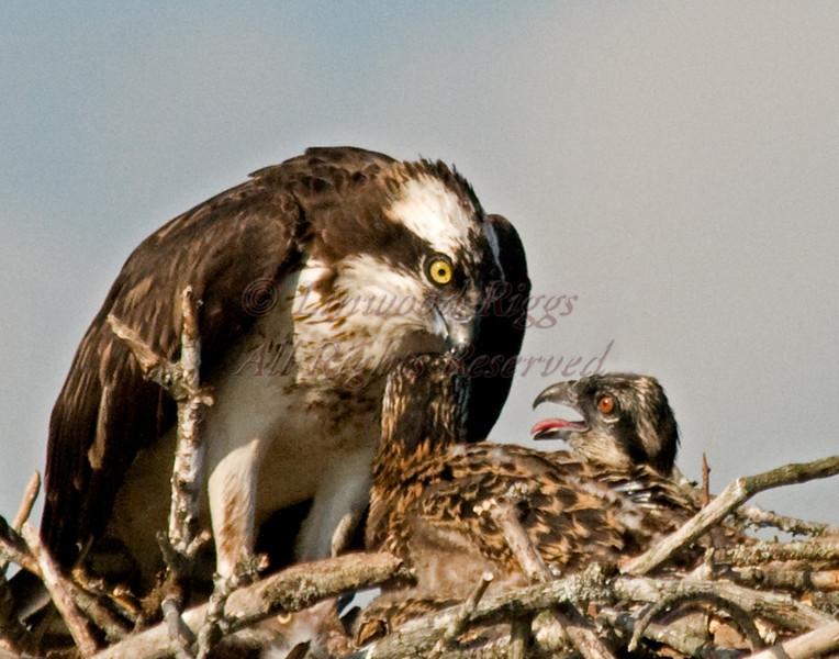 Mealtime in an osprey nest -  Bucksport, Maine