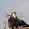 Osprey pair - Bucksport, Maine
