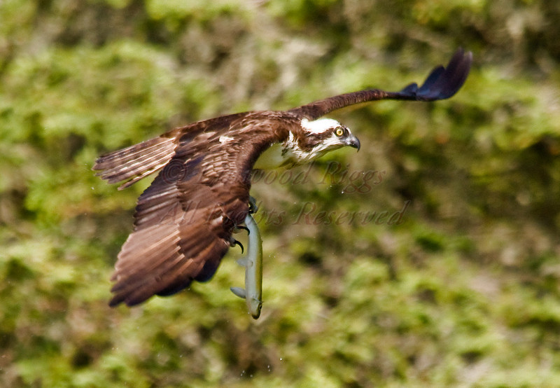 Osprey with catch - Pemaquid River