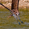 Osprey diving into the Mill Stream during the annual alewife run - Damariscotta Mills, Maine - May 2009