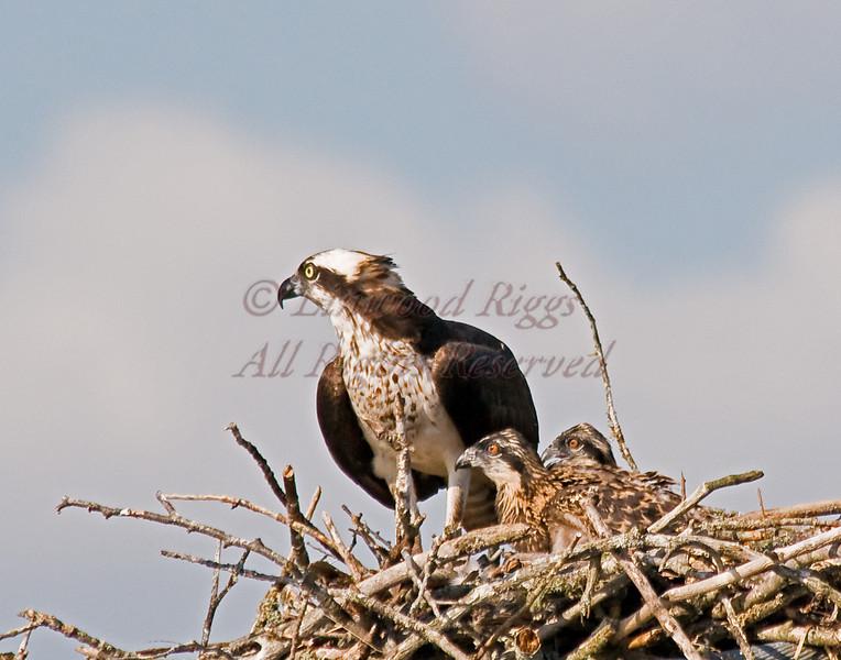 Osprey nest on the cables of the old Waldo Hancock Bridge, Bucksport, Maine