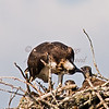 Mealtime in an osprey nest -  Bucksport, Maine