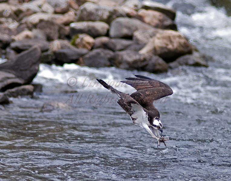 Osprey dives into the Mill Stream during the annual alewife run - Damariscotta Mills, Maine - May 2009