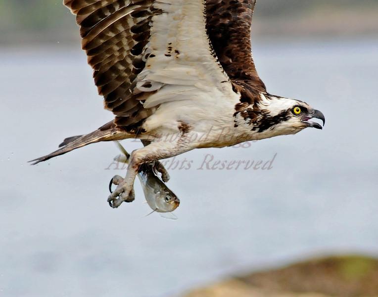 Osprey with catch at Popham Beach