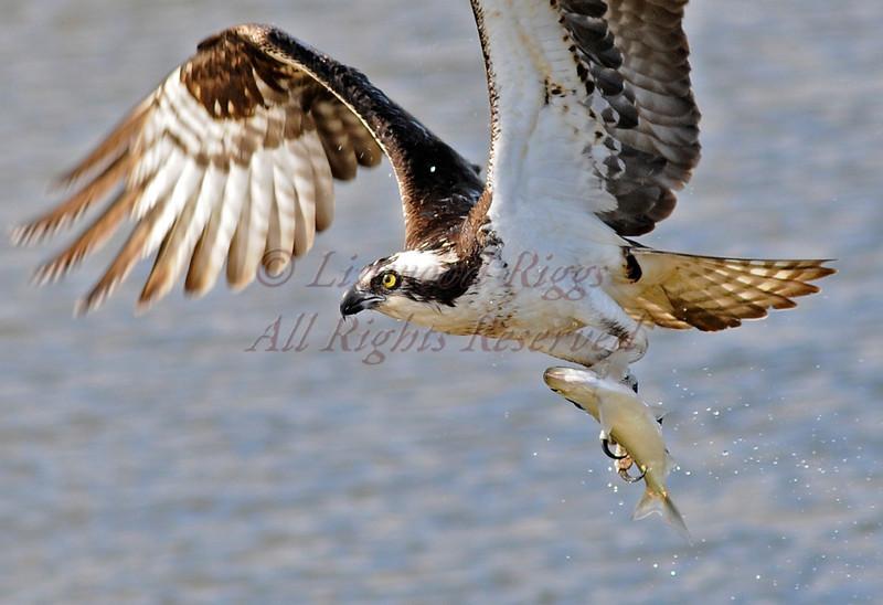 Osprey with catch at Popham Beach. Maine.