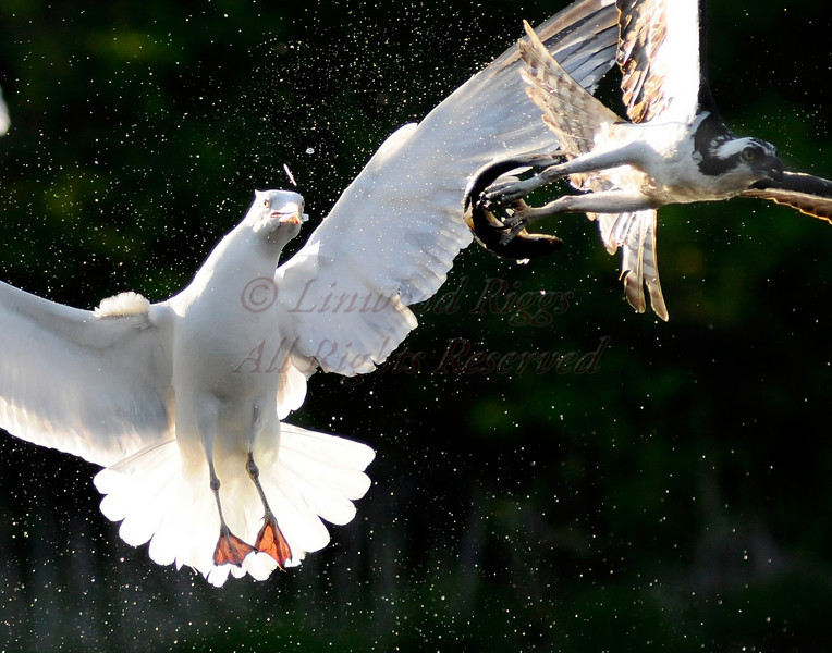 Gull tries to steal a meal from an osprey during the annual alewife run - Damariscotta Mills, Maine - May 2009