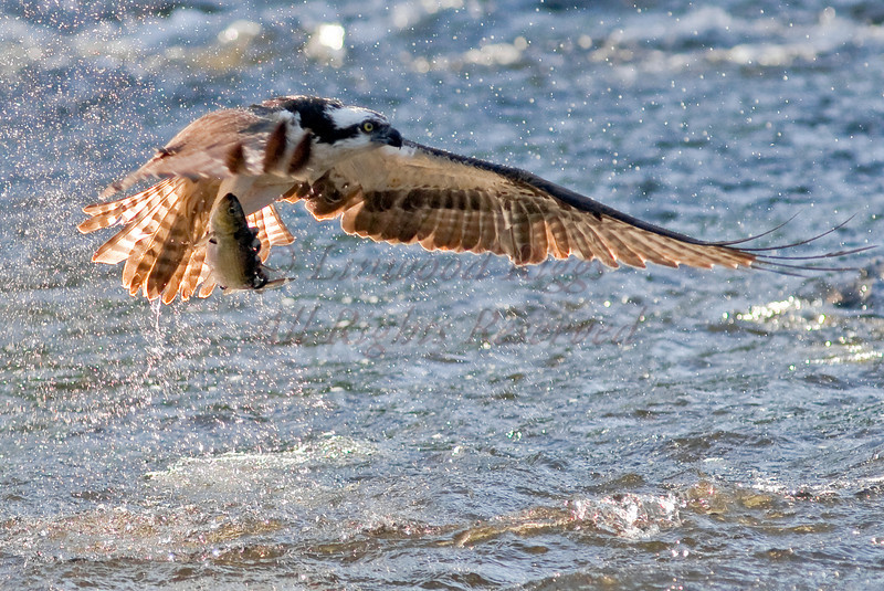 Osprey with catch during the annual alewife run - Damariscotta Mills, Maine - May 2009