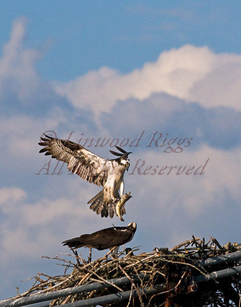 An osprey delivers a fish to hungry nestlings - Bucksport, Maine