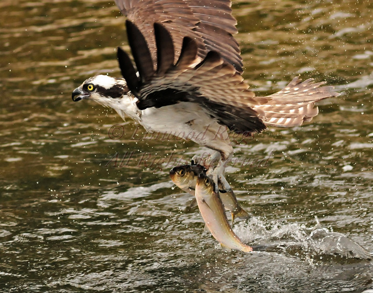 Osprey with its two-fisted catch during the annual alewife run at Damariscotta Mills, Maine - May 2009