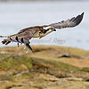 Osprey with catch at Popham Beach