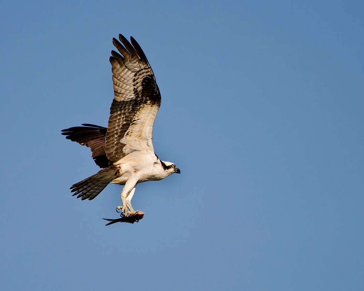 Return of the Osprey<br /> <br /> Back from his vacation in South America (probably Venezula). He's hanging out by the nest site, snagging fish to eat and waiting for his lovely wife to return so they can hook up :)