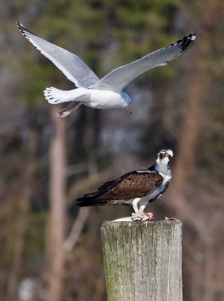 The Fish Nazi<br /> <br /> So this osprey was eating his fish, pulling the bits out that he didn't want (entrails, etc.) and tossing them down to a grackle that was patiently waiting below him for scraps.<br /> <br /> But for the rude seagull, there was 'No Fish For You!'