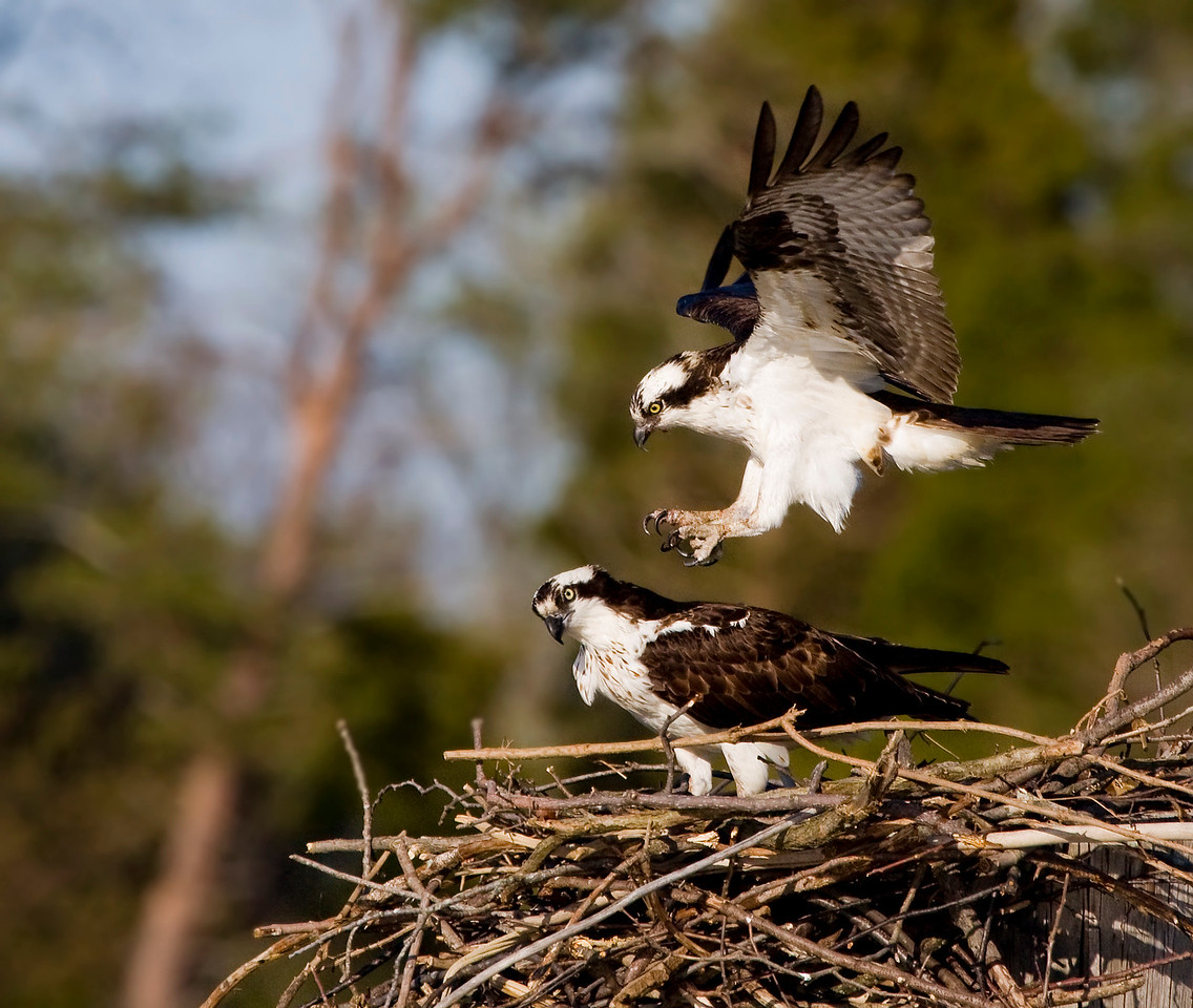 Come hither, hansome!<br /> <br /> Success! After all that nest building and courting ... his lady love decides she'll shack  up with him for another year :)<br /> <br /> P.S. Can you be arrested for possessing osprey porn? :)