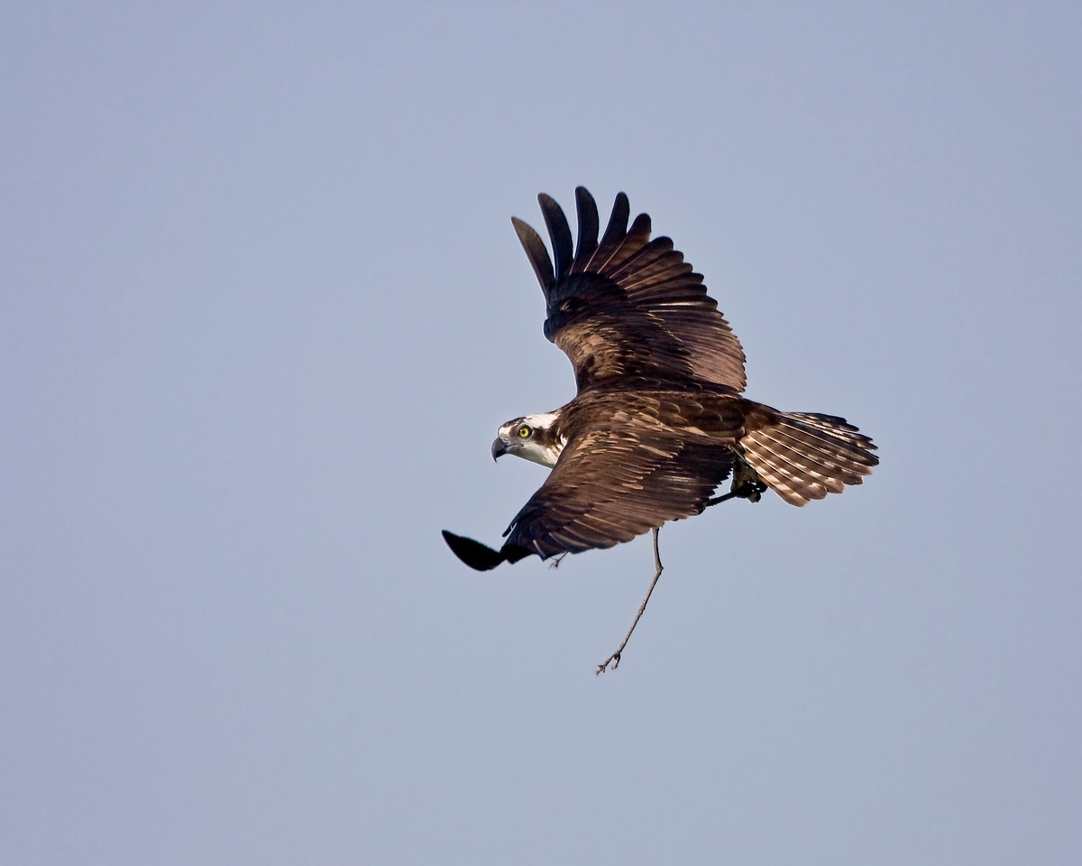 Osprey with Nesting material. Most of the ladies are sitting eggs now.