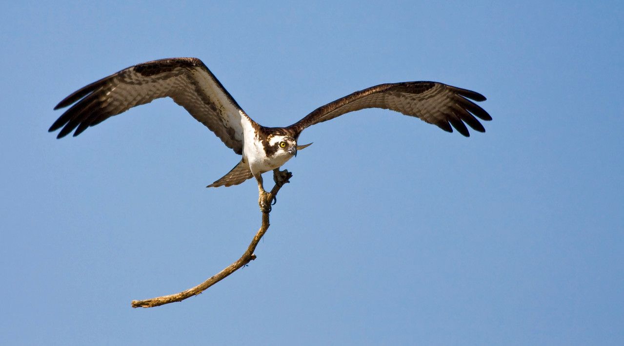 Samurai Osprey<br /> <br /> I wasn't sure if he was going to beat me over the head with the stick ... or take it to his nest.