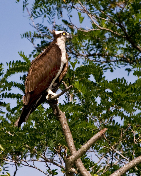 Male Osprey on Solomon's Island, Maryland