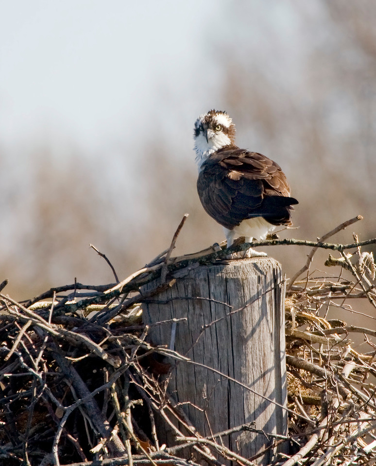 Sentinel<br /> <br /> While one mate is off gathering sticks or fishing ... the other guards the nest from other osprey (claim jumpers are a problem during nest building).