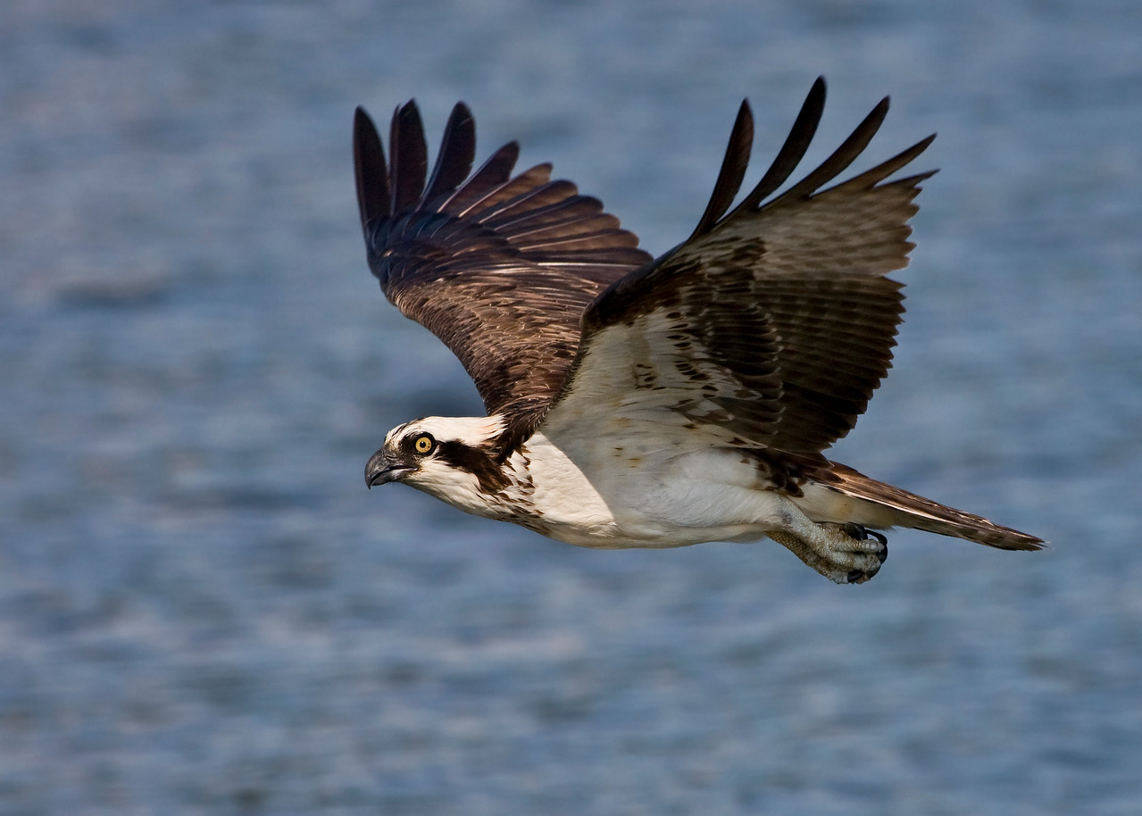 """Mommy Osprey's like this one should be just about ready to begin migrating to South America for their winter vacation. They normally leave first, followed by the adult males making their vacation plans and leaving a couple of weeks later. The juveniles are the last to go by the first couple of weeks in September.<br /> <br /> A few of you have been wondering where I'm getting osprey shots and how many are there around here that I can pretty much shoot them as dailies. I live on the Chesapeake, otherwise known as the 'Osprey Garden', at the mouth of the Patuxent River in Maryland. There is probably somewhere in the neighborhood of 30 - 40 active nests within an hours drive of my house. I frequently shoot the ospreys from 3 nearby nests that I can get to very easily from shore with decent backgrounds. And there's even 4 -5 eagle nests nearby but they are a little harder to get to without a boat. I'm working on getting a little shallow draft runabout :)<br /> <br /> This osprey web cam ( <a href=""""http://www.life.umd.edu/biology/paynterlab/video/cam-osprey.html"""">http://www.life.umd.edu/biology/paynterlab/video/cam-osprey.html</a> ) is in the area I shoot from. It's not one of the nests I watch religously because it's blocked off to the walking public (the boating public have great access to this nest)."""