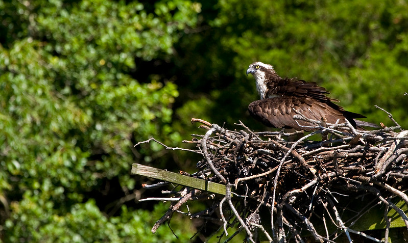 Momma Osprey shielding her chicks from the sun.<br /> <br /> Taken in Sam Abell Cove, Mill Creek off the Patuxent River from my Santee 116 kayak.