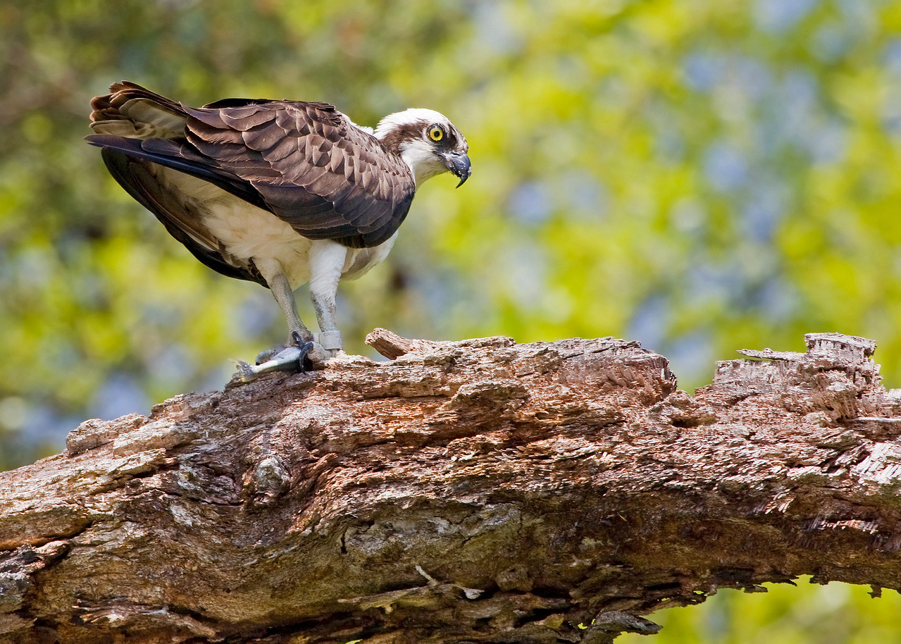 Banded Male Osprey on Dead Tree<br /> <br /> (Taken from my Santee 116 Sport Kayak on Cuckold Creek, Southern Maryland)