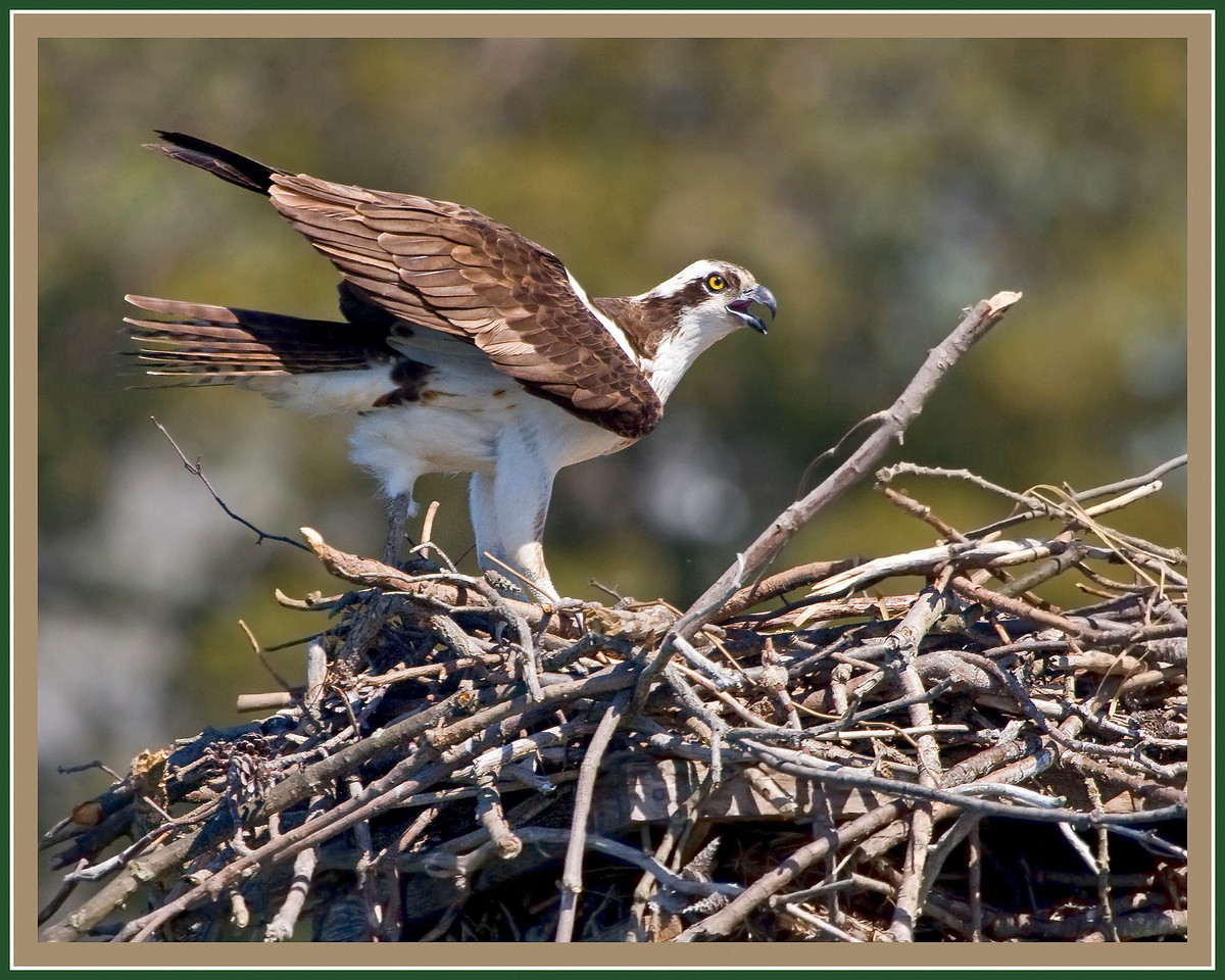 Disturbed Osprey about to Leave Nest.<br /> <br /> (I got a little too close in my new kayak)