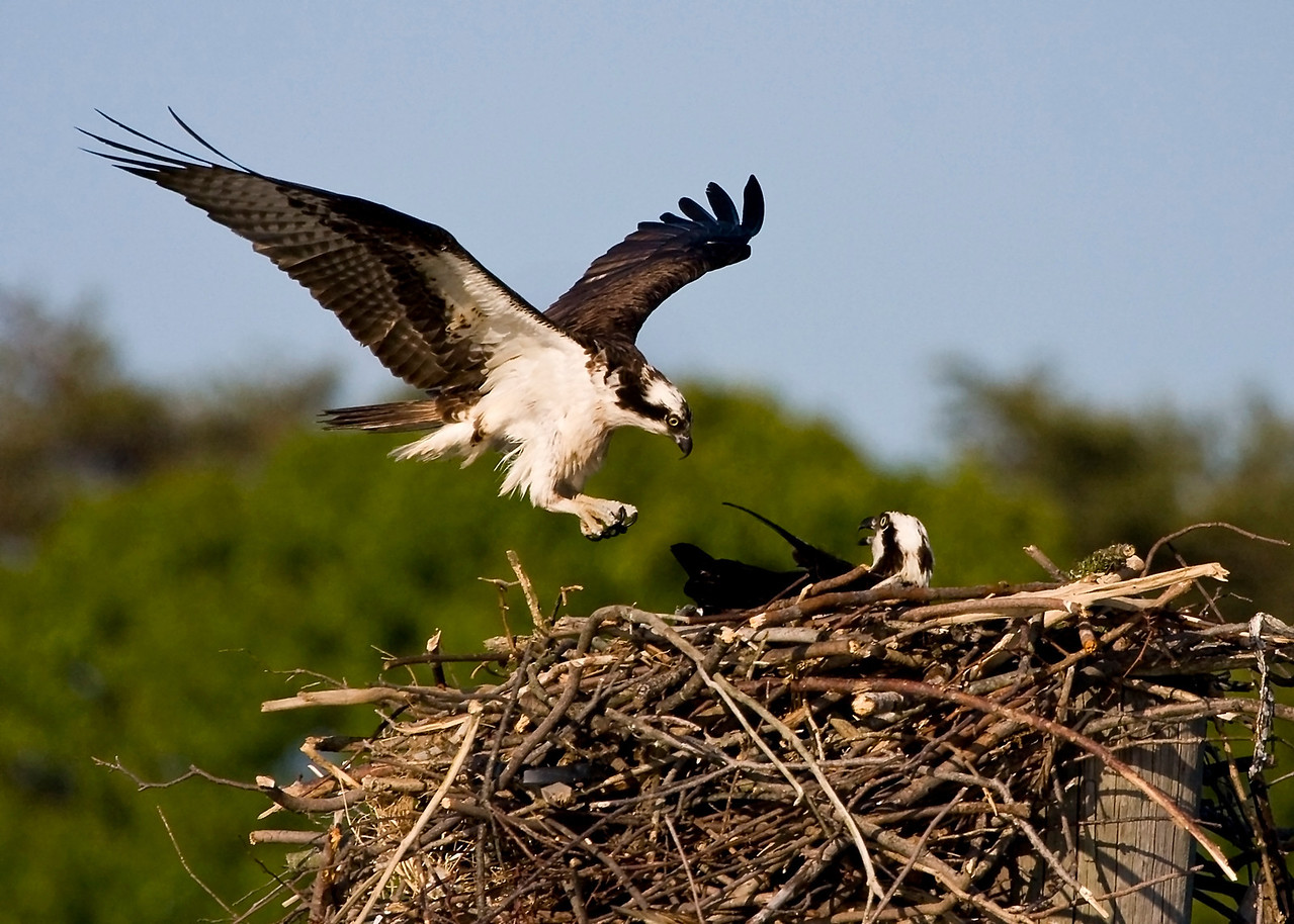 Male Osprey Arriving at Nest