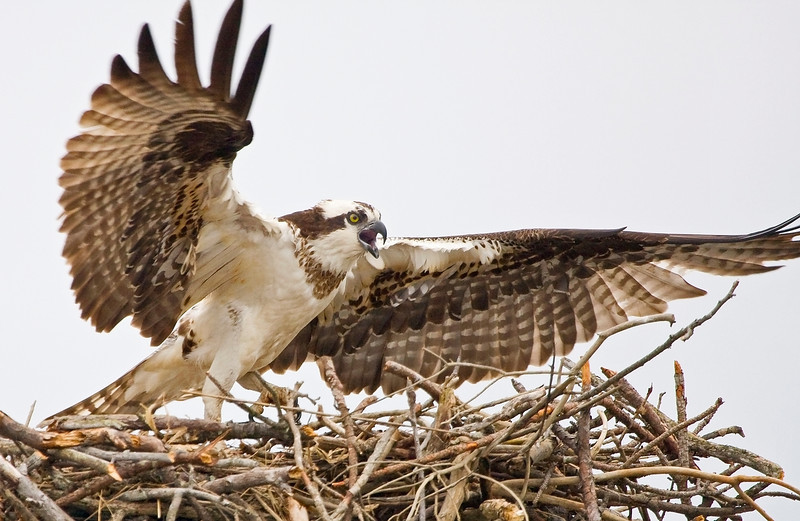 Female Osprey leaving Nest<br /> (taken from my Santee 116 Sport kayak in the Upper St. Mary's River, Maryland)