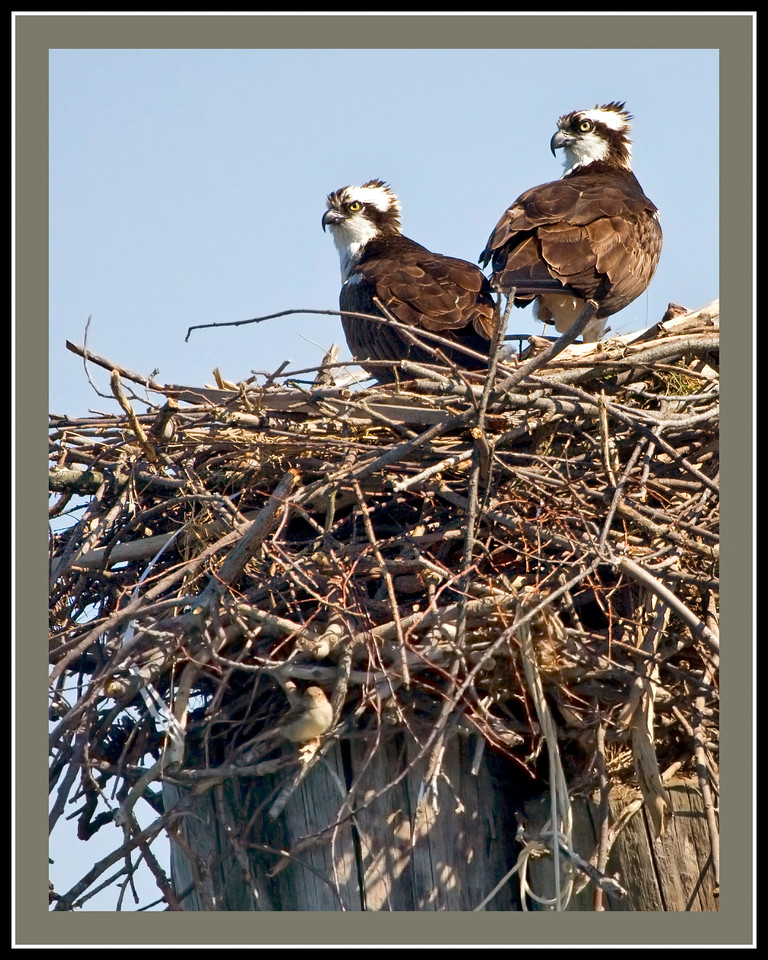 Osprey Pair in Nest <br /> (taken from a Santee 116 Sport Kayak off the Clarkes Landing Restaurant pier on the Patuxent River)