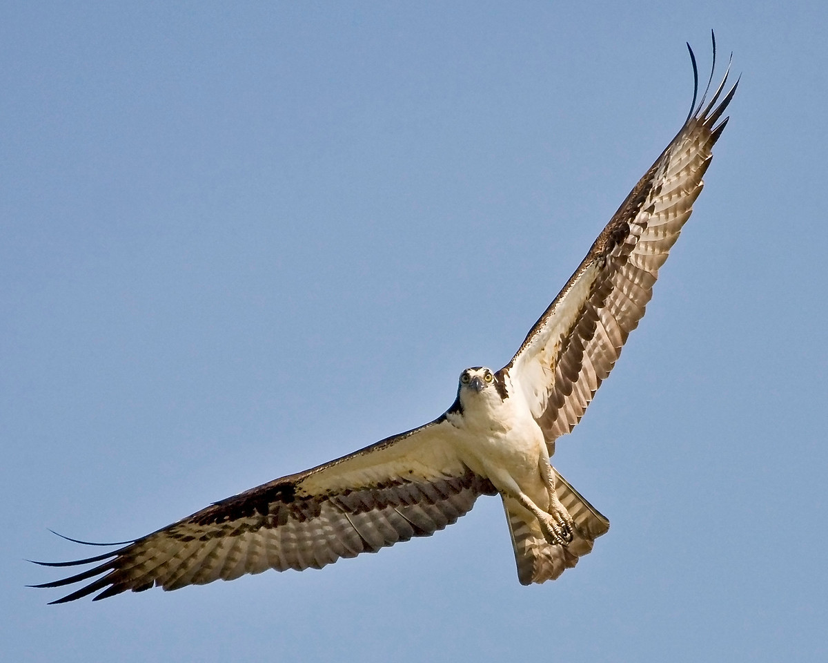 Male Osprey in Jug Bay Wetlands