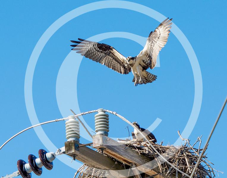 Osprey nest building - May 2013 at Gardiner, Maine
