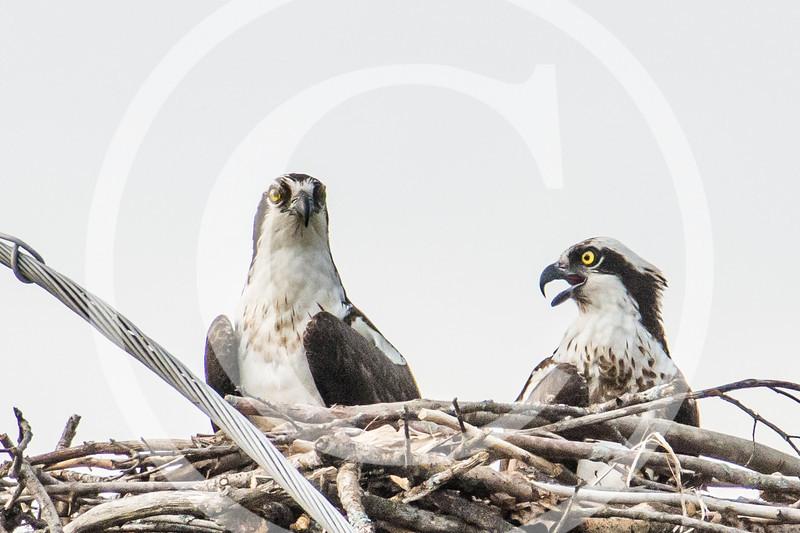 Osprey in their nest, at Gardiner, Maine