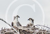 Osprey in their nest, at Gardiner, Maine