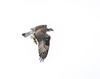 Osprey with catch.