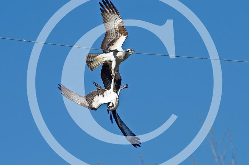 Osprey courtship activity?